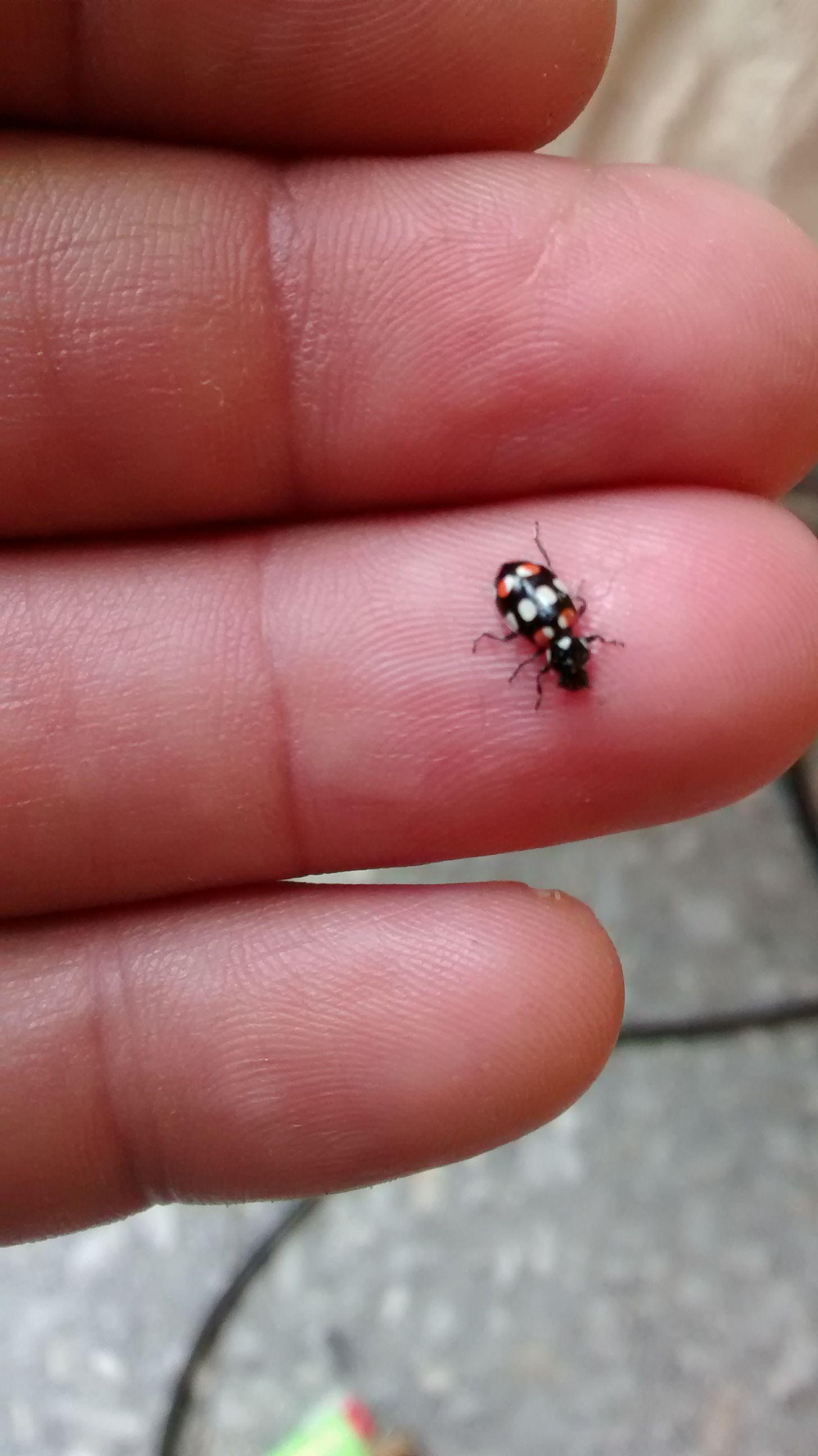 BA 228 - Ladybug