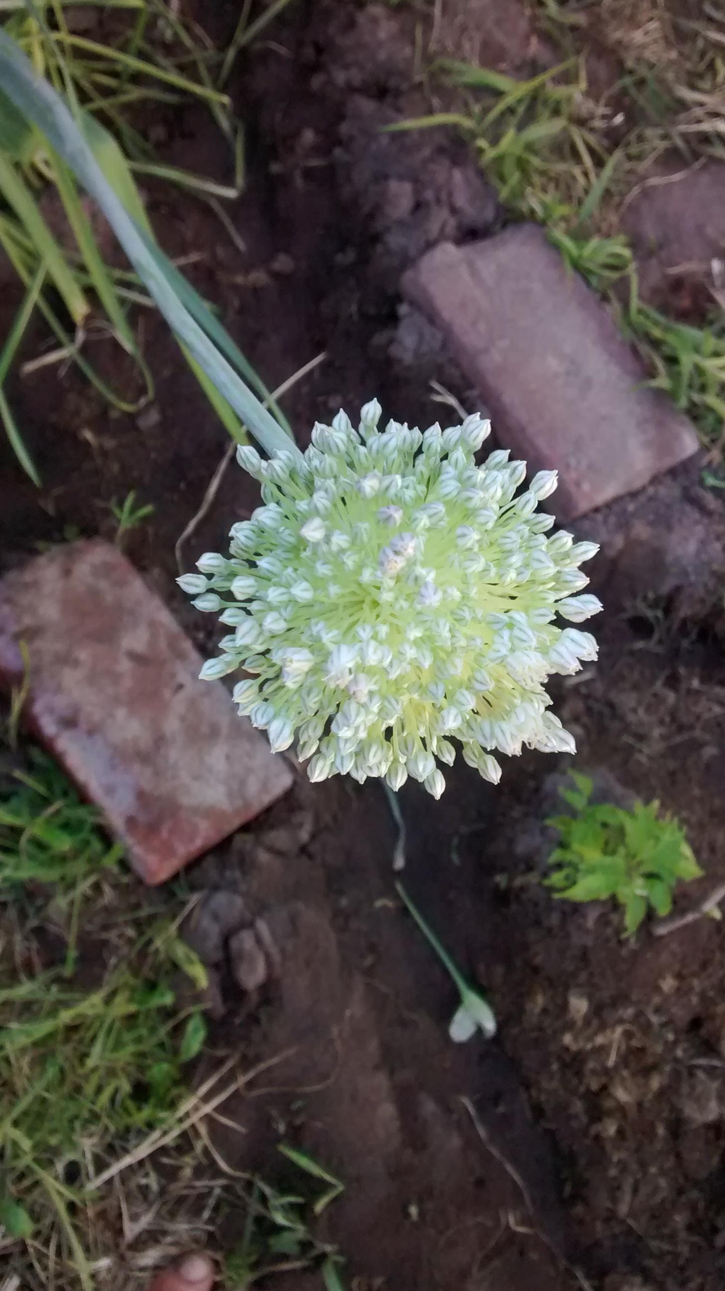 ba-231-1-flower-onion-white